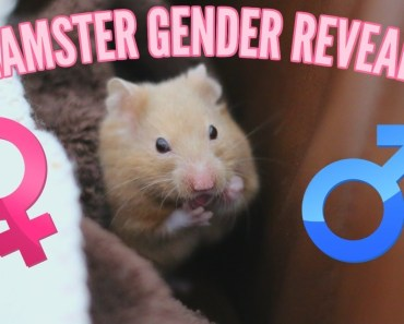 HAMSTER GENDER REVEAL - hamster gender reveal