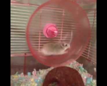 HILARIOUS HAMSTER WHEEL FAIL VINE! - hilarious hamster wheel fail vine