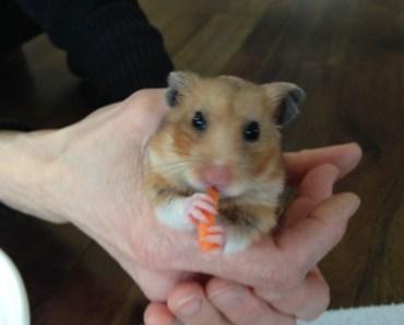 Khi Chuột Hamster ăn hai củ cà rốt - How Funny Hamster Eat Two Carrots - khi chuot hamster an hai cu ca rot how funny hamster eat two carrots
