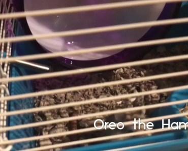 Oreo the Hamster runs the wheel - oreo the hamster runs the wheel