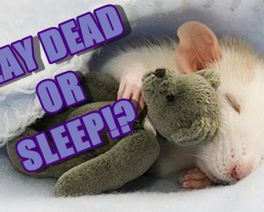[Pet] Funny Play Dead Hamster - pet funny play dead hamster