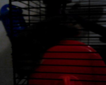 Real funny hamster runing on the outside of his wheel - real funny hamster runing on the outside of his wheel
