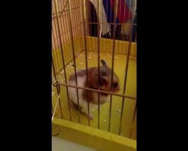 The hamster stands still while music is playing (funny) - the hamster stands still while music is playing funny