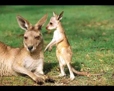 Top Cute Baby Kangaroo (Joey) Videos Compilation 2017 [BEST OF] - top cute baby kangaroo joey videos compilation 2017 best of