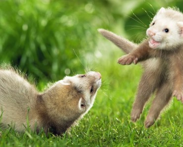 Top Cutest Ferret Videos Compilation 2017 - Funny Animals [BEST OF] - top cutest ferret videos compilation 2017 funny animals best of
