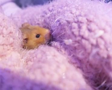 VLOGMAS DAY 20 l NEW HAMSTER ! - vlogmas day 20 l new hamster