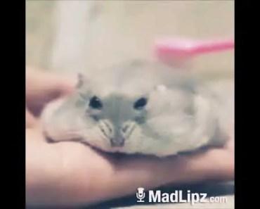 Funny hámster - 1515449483 funny hamster