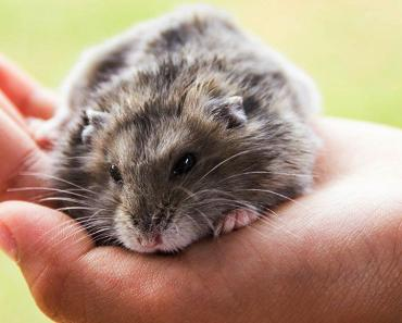 5 Common Hamster Health Issue