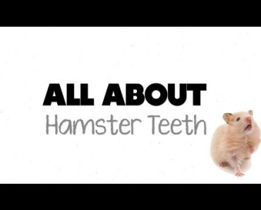 ALL ABOUT HAMSTER TEETH! - all about hamster teeth