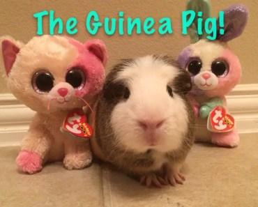 Beanie Boo's: The Guinea Pig! - beanie boos the guinea pig