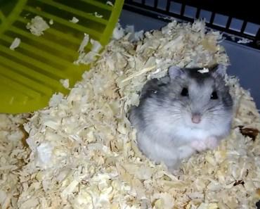 Chomik dżungarski przekopuje trociny Djungarian hamster zabawa funny - chomik dzungarski przekopuje trociny djungarian hamster zabawa funny