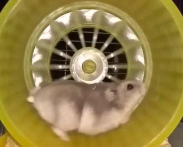 Chomik Dżungarski w kołowrotku slow motion Djungarian hamster zabawa funny - chomik dzungarski w kolowrotku slow motion djungarian hamster zabawa funny