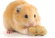Pet Hamster Care - Are You Up to the Challenge?