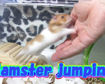 Cute And Funny Hamster - Hamster jumping - cute and funny hamster hamster jumping