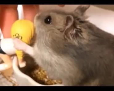 CUTE HAMSTER Vine Compilation 2015 Part 2 - cute hamster vine compilation 2015 part 2