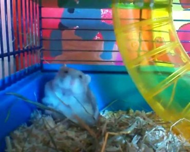 funny and sweet hamster waking up - funny and sweet hamster waking up
