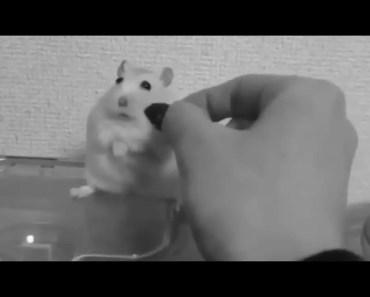 Funny broken hamster - funny broken hamster