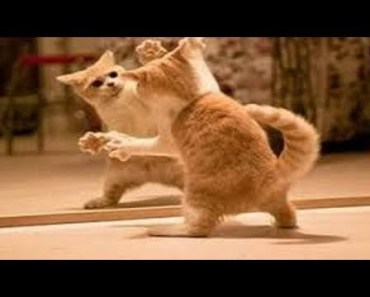 Funny Cats Versus Mirrors! Try Not To Laugh! - funny cats versus mirrors try not to laugh