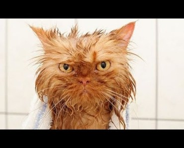 Funny Cats Who Just Don't Want To Bath Compilation! - funny cats who just dont want to bath compilation