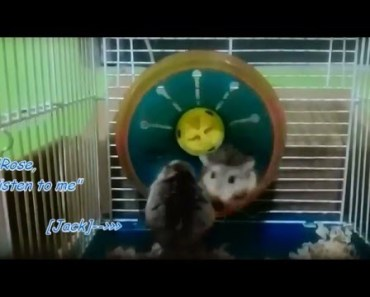 Funny Hamster Stumbling and Spinning - funny hamster stumbling and spinning