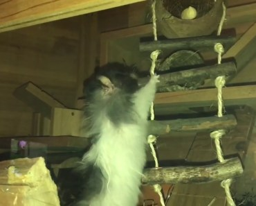 Funny Hamster - too fat to climb a ladder! - funny hamster too fat to climb a ladder