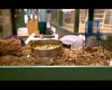 Funny pacing hamster at Petland! - funny pacing hamster at petland