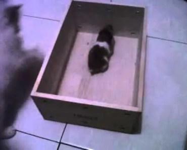 Funny Persia Cat vs Syria Hamster.3GP - funny persia cat vs syria hamster 3gp