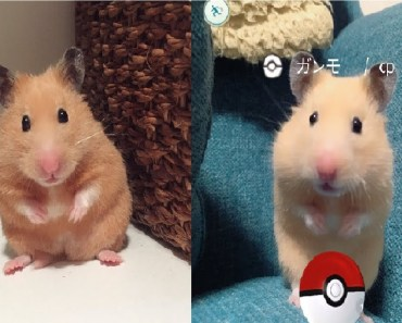 Ganmo is a Cute And Funniest Hamster - ganmo is a cute and funniest hamster
