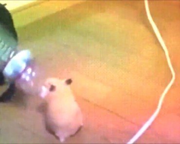 Hamster Dancing With Water Bottle - hamster dancing with water bottle