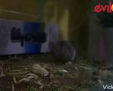 Hamster Feeding Funny India ep.1 - hamster feeding funny india ep 1