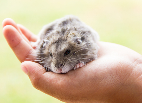 Dwarf Hamster Info - Common Dwarf Hamster Illnesses - Hamster Care
