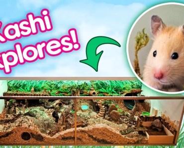"""Hamster """"Kashi"""" Explores Her Rainforest Cage for the First Time! - hamster kashi explores her rainforest cage for the first time"""