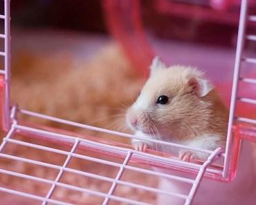 hamster lucu dan menggemaskan makan rame2 - hamster funny videos - hamster lucu dan menggemaskan makan rame2 hamster funny videos