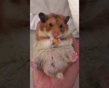 Hamster munching on food, whilst sitting in owner's hand - hamster munching on food whilst sitting in owners hand
