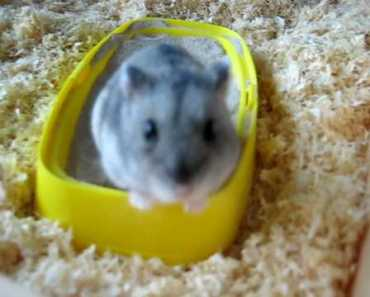 Hamster rolling and bathing in sand :) - hamster rolling and bathing in sand
