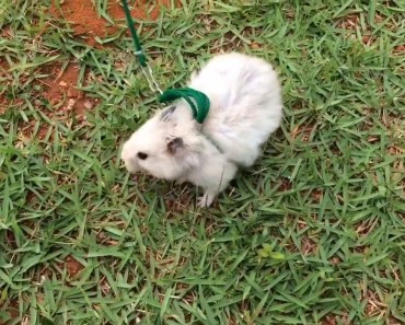Hamster Sírio Angorá passeando de coleira / Lunático - hamster sirio angora passeando de coleira lunatico