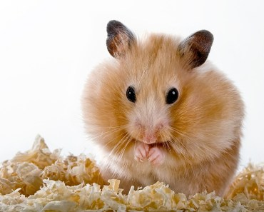 The Dwarf Hamster Diet - hamster