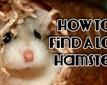 How To Find A Lost Hamster - how to find a lost hamster