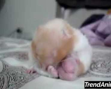 Little hamster falling asleep! - little hamster falling asleep