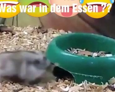Lustiger Hamster Funny Tier Was war in den Essen? - lustiger hamster funny tier was war in den essen