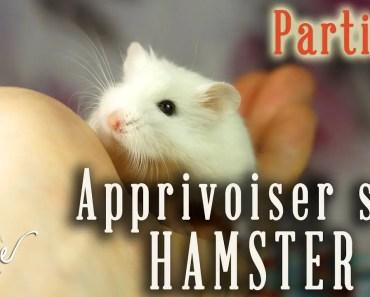 Manipulations et apprivoisement du hamster : partie 2! - manipulations et apprivoisement du hamster partie 2
