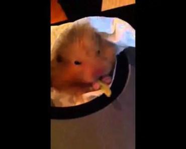 My cute hamster eating a funny celery - my cute hamster eating a funny celery