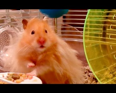 'Nuts or Freedom' - The Talking Hamster - nuts or freedom the talking hamster