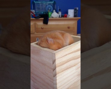Snoring hamster - snoring hamster