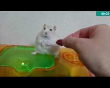 This happens when hamster don't get food (so funny) - this happens when hamster dont get food so funny