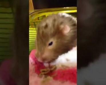 Funny hamster - 1517854391 funny hamster