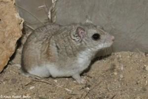 Mongolian hamster