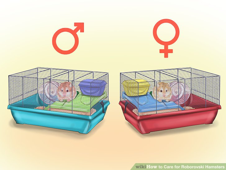 Make sure the pet store separates male and female hamsters