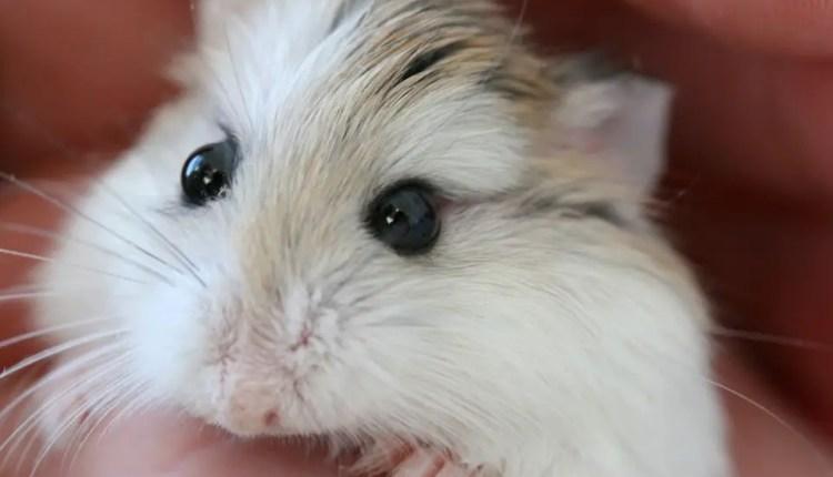 Robo Dwarf Hamster