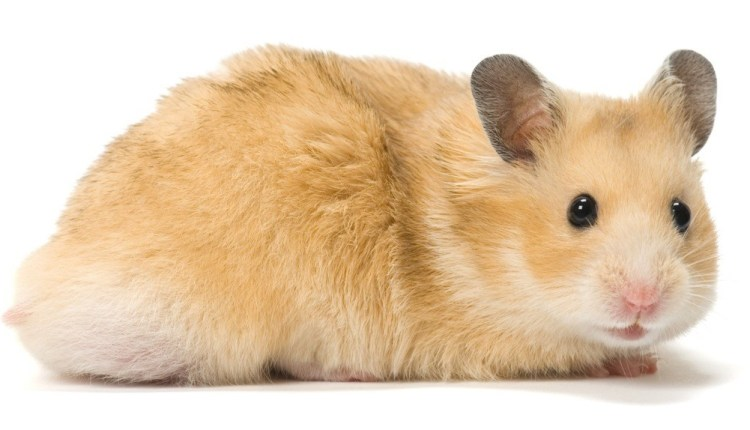 The Syrian Hamster – A Detailed Overview